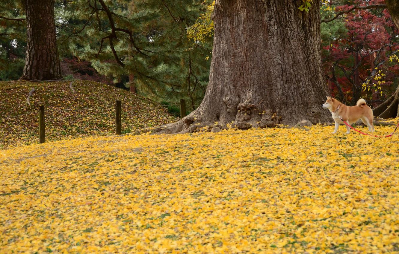 Photo wallpaper autumn, dog, walk, yellow leaves