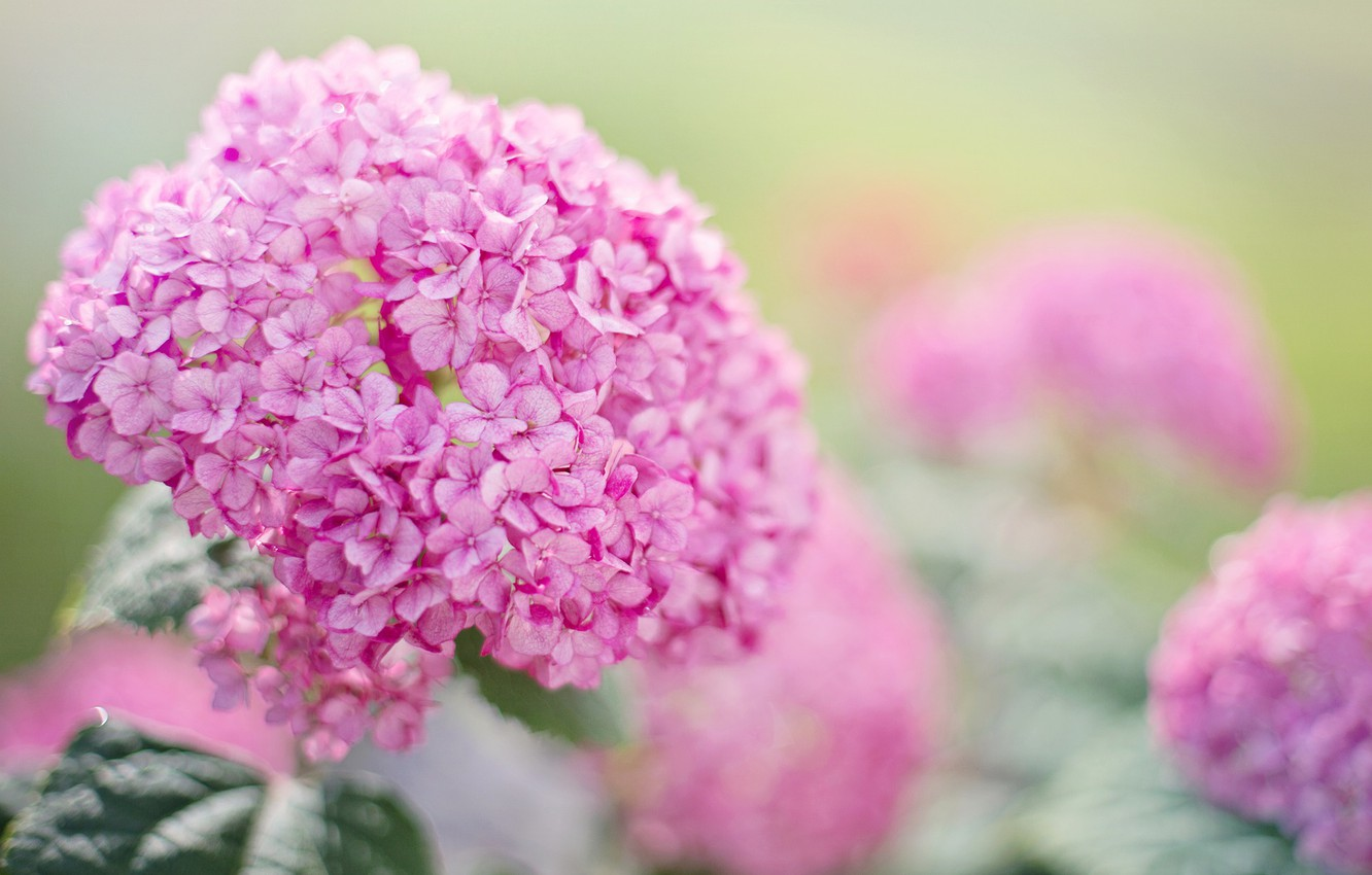 Photo wallpaper summer, flowers, pink, garden, hydrangea, hydrangeas