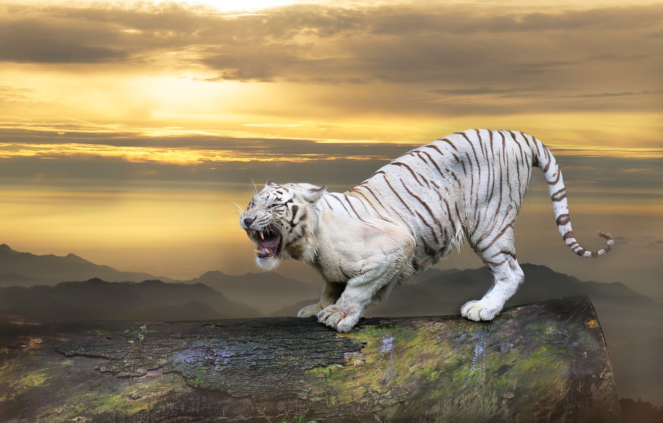 Photo wallpaper white, the sky, look, clouds, sunset, mountains, tiger, pose, collage, view, photoshop, treatment, paws, mouth, …