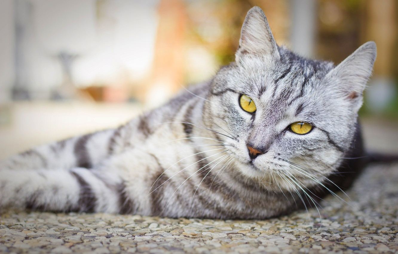 Photo wallpaper cat, cat, face, grey, background, portrait, light, lies, striped, British, smoky, handsome, yellow eyes, blurred, …