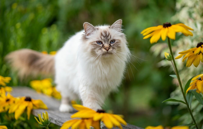 Photo wallpaper cat, cat, look, flowers, bench, nature, pose, yellow, garden, Board, walk, blue eyes, bokeh, rudbeckia, …