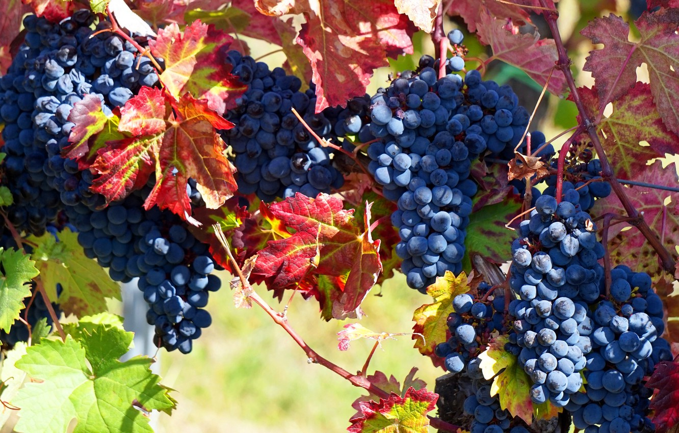 Photo wallpaper autumn, leaves, light, branches, blue, nature, berries, food, garden, harvest, grapes, red, vineyard, fruit, a …