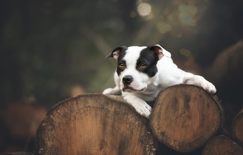 Photo wallpaper look, nature, the dark background, tree, trunks, dog, lies, log, logs, bokeh, American pit bull …