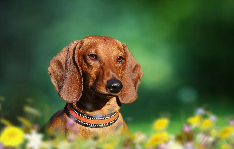 Photo wallpaper background, each, dog, Dachshund