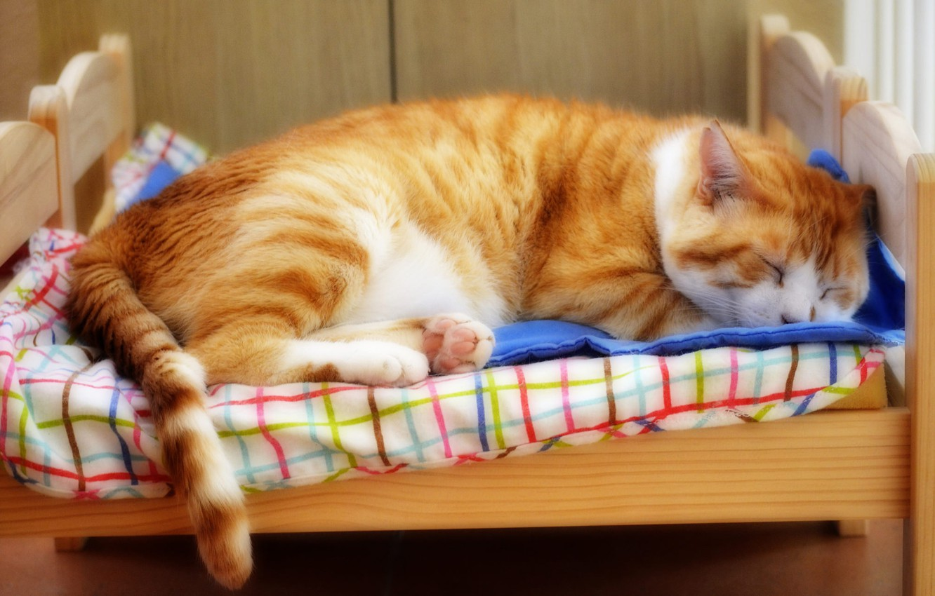 Photo wallpaper cat, cat, face, pose, comfort, background, stay, bed, sleep, portrait, red, sleeping, bed, lies, though, …