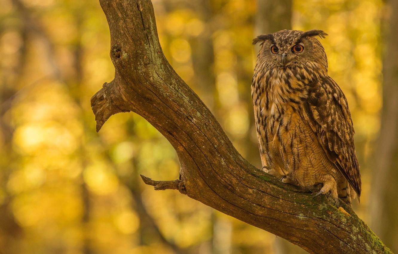Photo wallpaper autumn, tree, owl, bird, branch, bitches, bokeh, owl