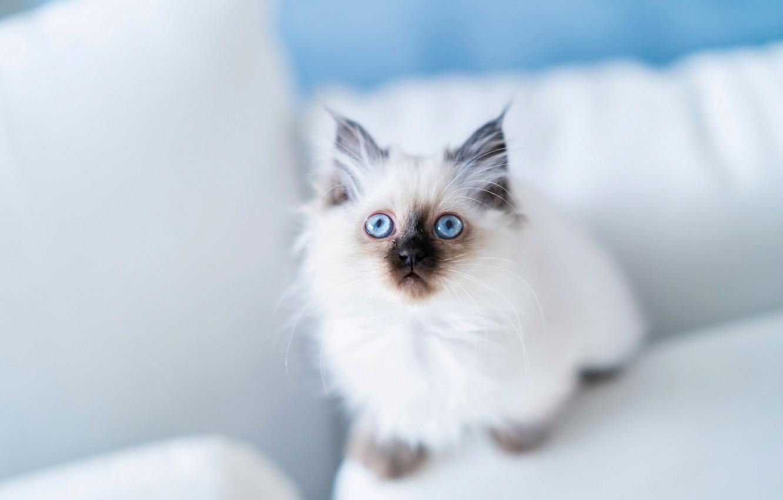 Photo wallpaper look, kitty, blue eyes, Burmese