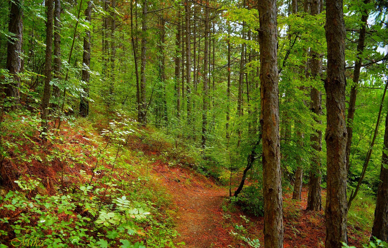 Photo wallpaper Greens, Path, Trees, Forest, Forest, Trees, Path