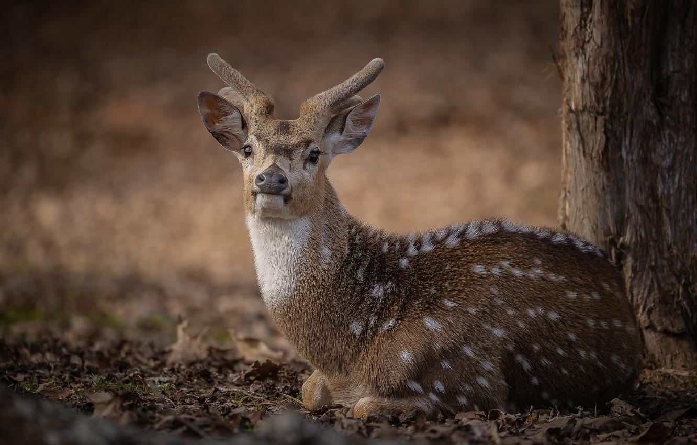 Photo wallpaper nature, animal, deer