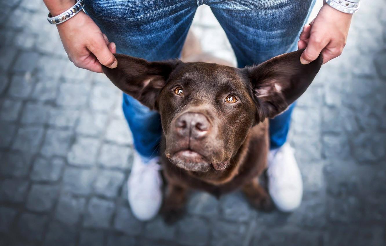 Photo wallpaper look, face, man, dog, ears
