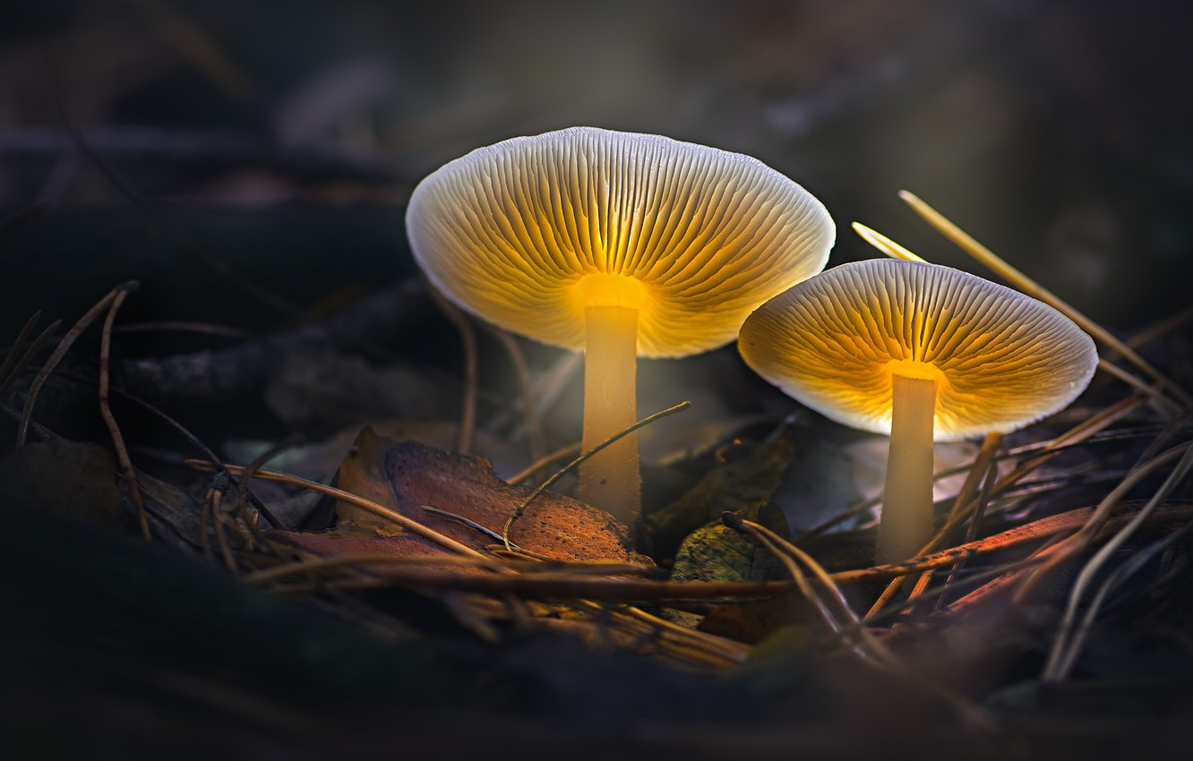 Photo wallpaper autumn, macro, light, nature, foliage, mushrooms, treatment, pair, needles