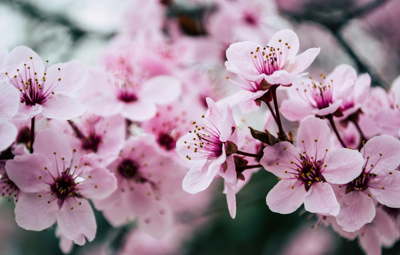 Photo wallpaper pink, blossom, spring