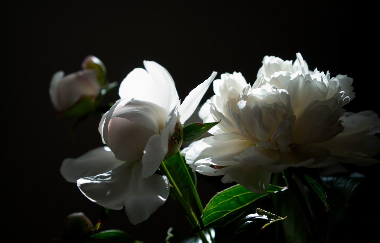 Photo wallpaper light, Flowers, bouquet, peonies, peony, white peonies