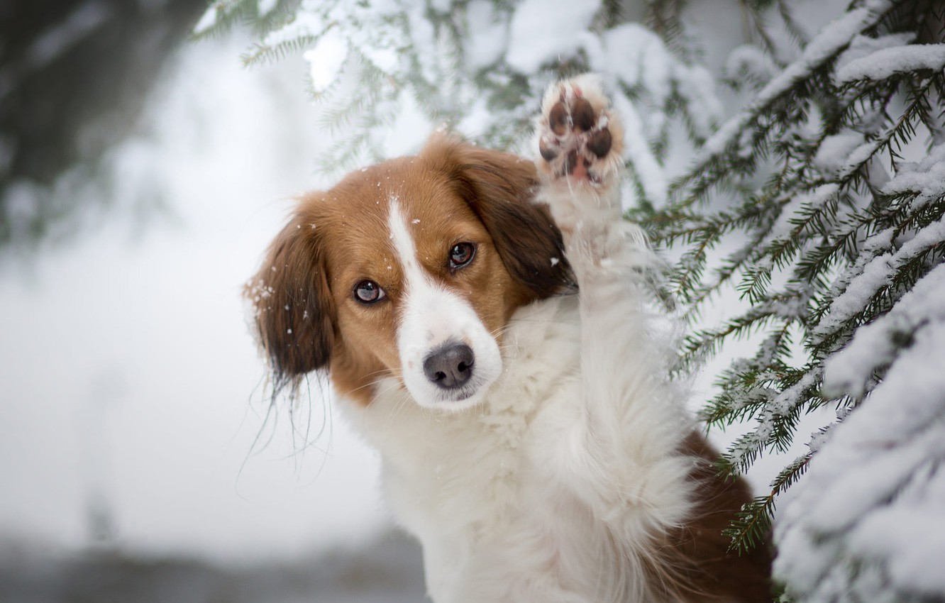 Photo wallpaper winter, forest, look, face, snow, branches, nature, pose, paw, portrait, spruce, dog, red, needles, light …