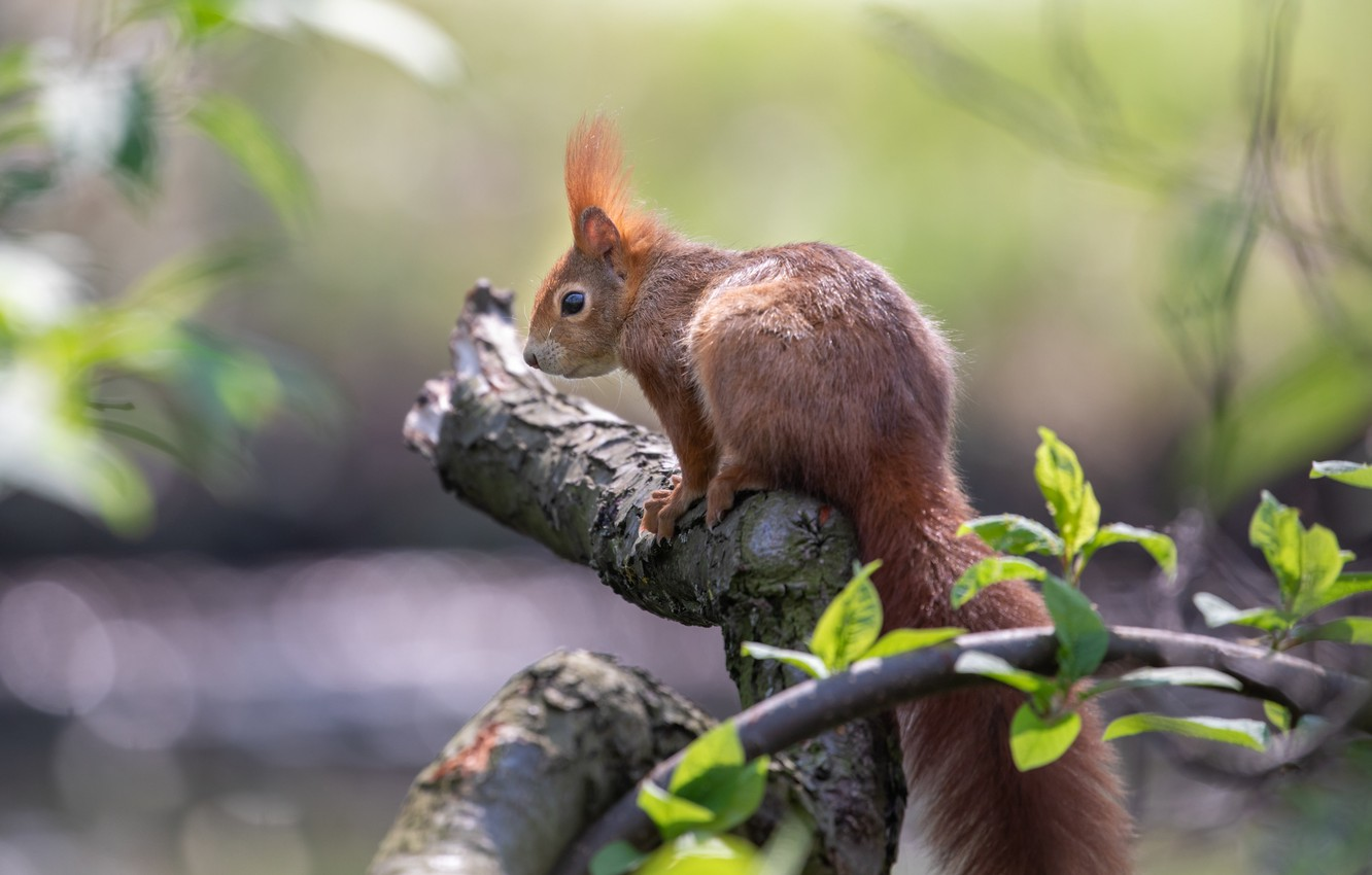 Photo wallpaper nature, branch, protein, rodent