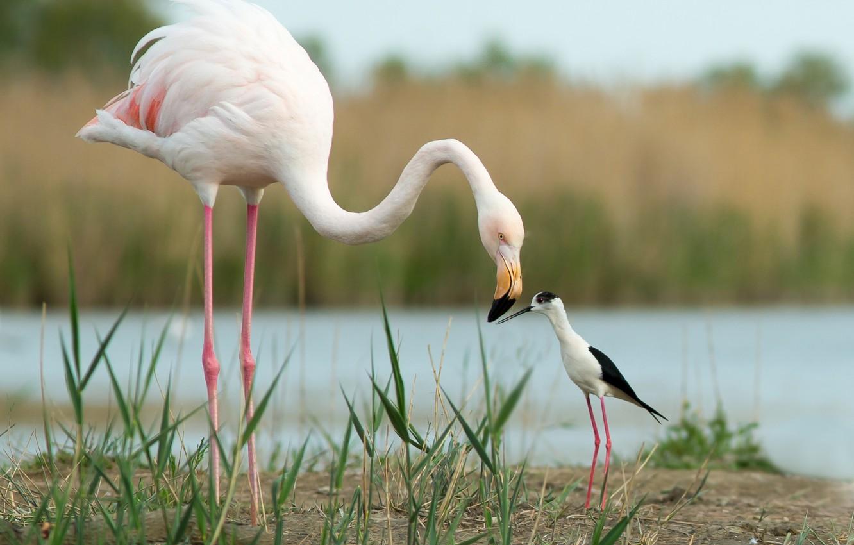 Photo wallpaper birds, friends, Flamingo, Black-winged stilt