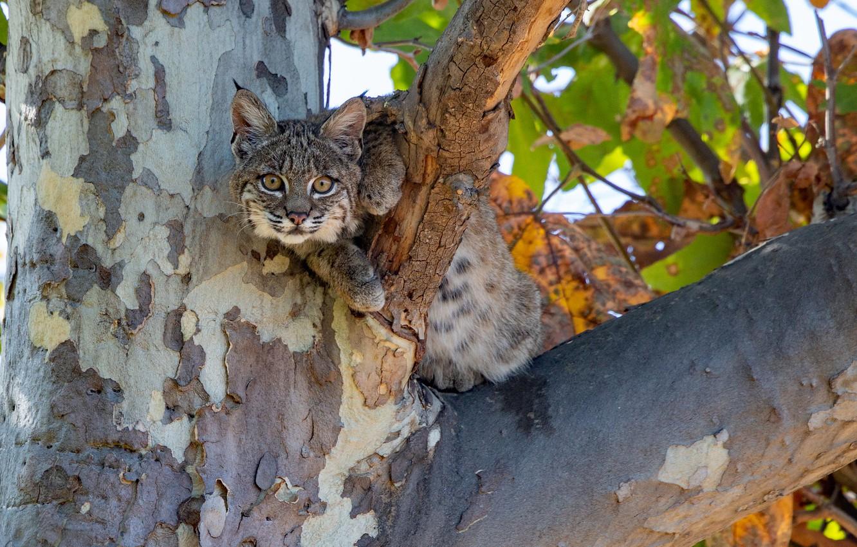 Photo wallpaper look, tree, cub, lynx, wild cat, on the tree