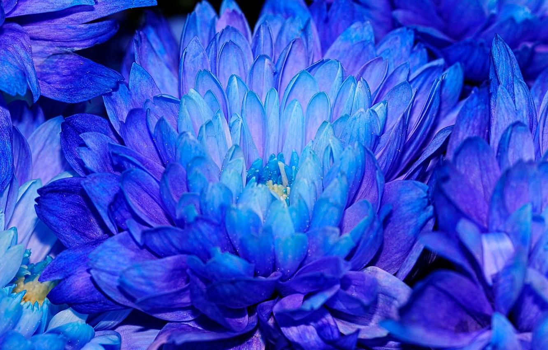 Photo wallpaper flowers, chrysanthemum, blue petals
