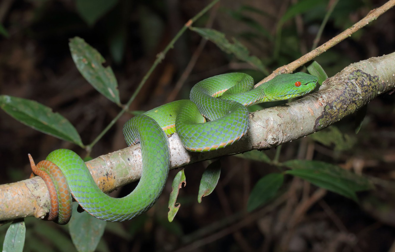 Photo wallpaper snake, branch, green, holds tail