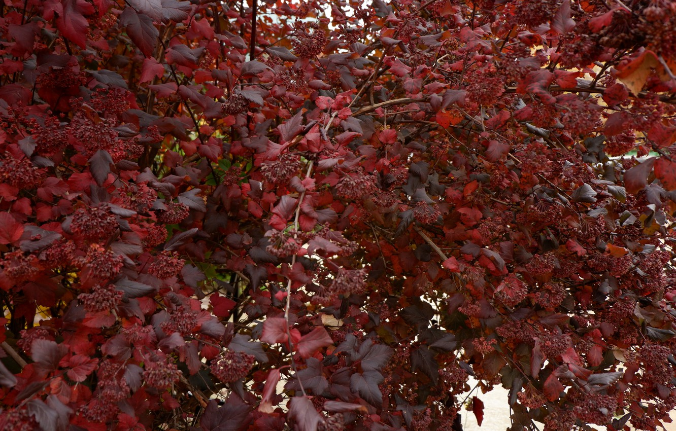 Photo wallpaper autumn, red, Bush, fire, red Bush
