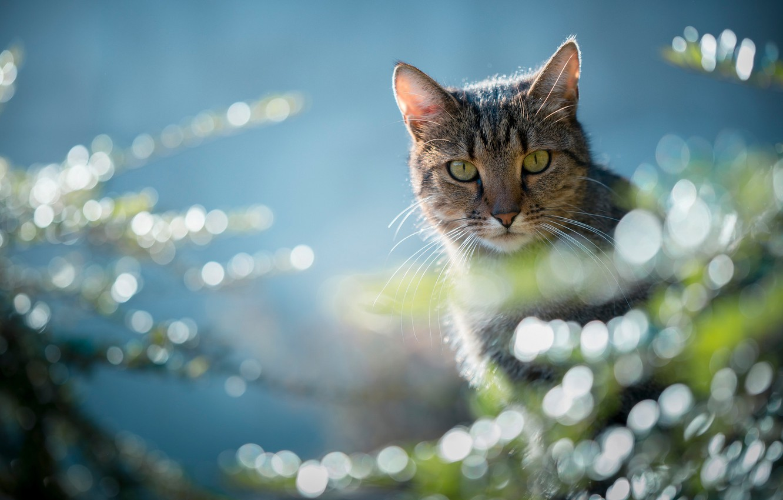 Photo wallpaper cat, look, glare, muzzle, cat