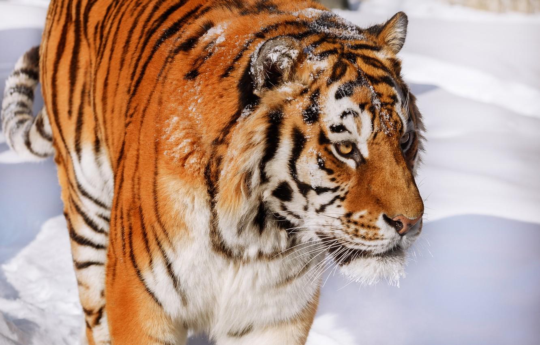 Photo wallpaper face, snow, tiger, wild cat, handsome, Oleg Bogdanov