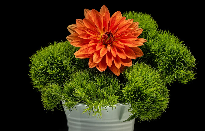 Photo wallpaper greens, flower, black background, Dahlia