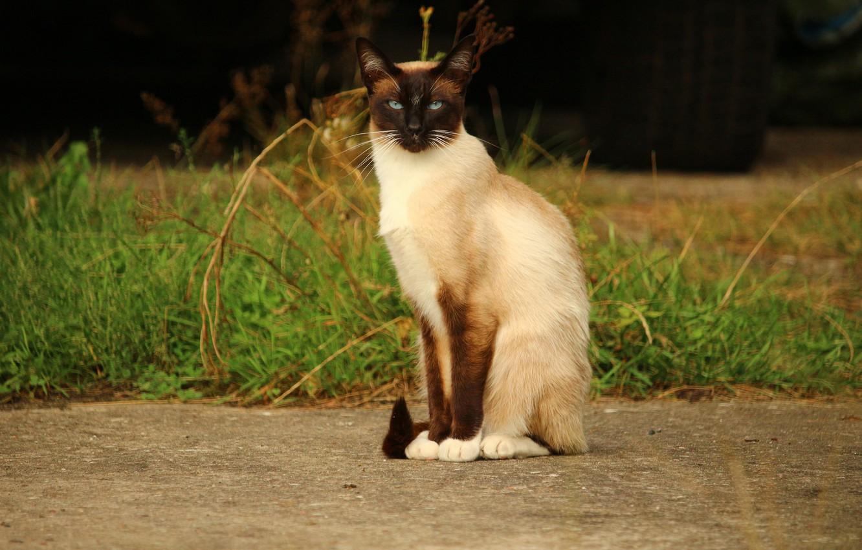 Photo wallpaper cat, nature, Siamese