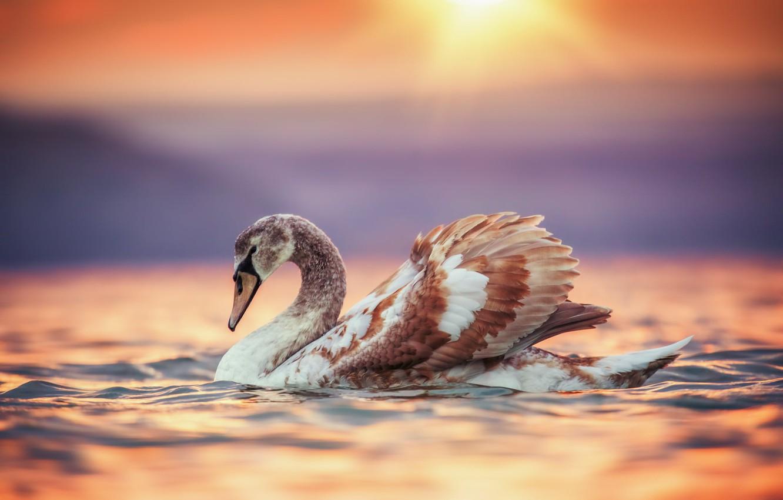 Photo wallpaper water, sunset, bird, Swan, Valentin Valkov