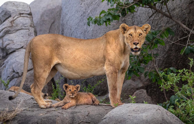 Photo wallpaper nature, baby, lioness, mom, lion, lion