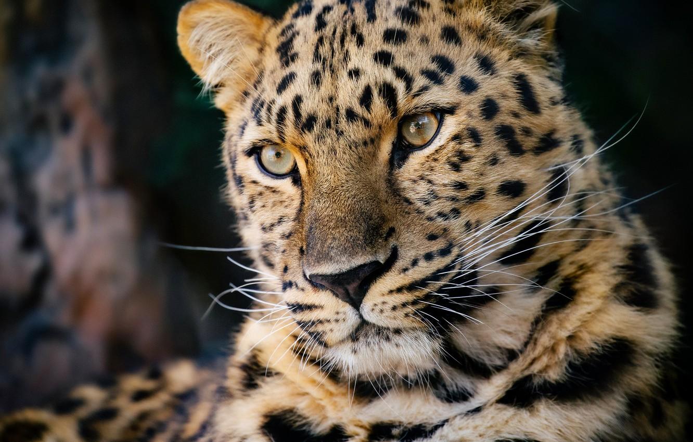 Photo wallpaper face, portrait, predator, leopard, wild cat