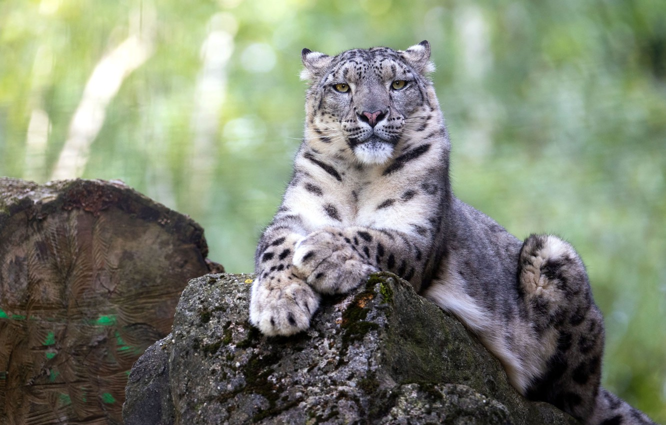 Photo wallpaper look, face, pose, stone, portrait, lies, IRBIS, snow leopard, log, handsome, bokeh