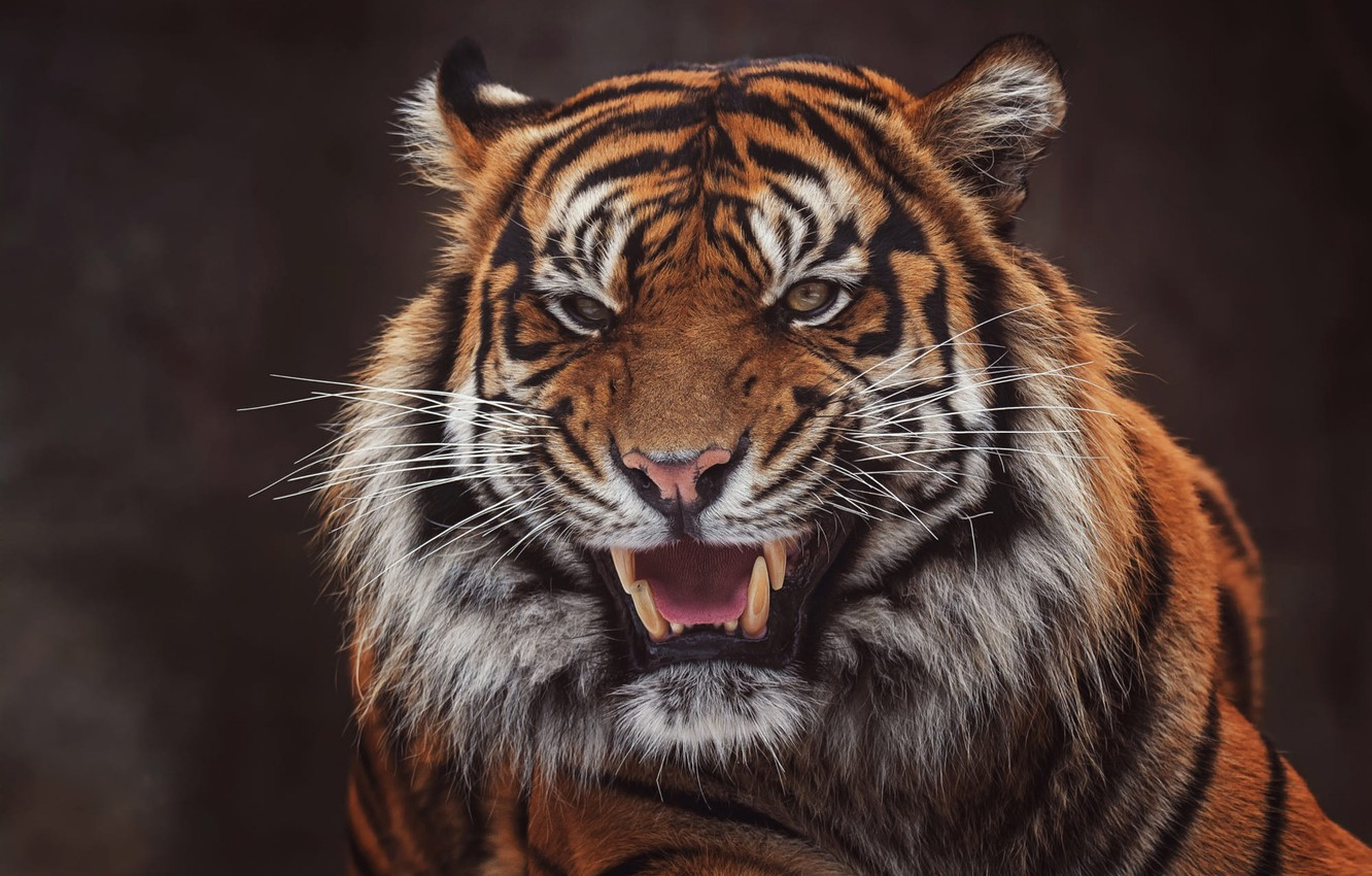 Photo wallpaper face, tiger, the dark background, portrait, mouth, fangs, grin, evil, aggression, wild cat