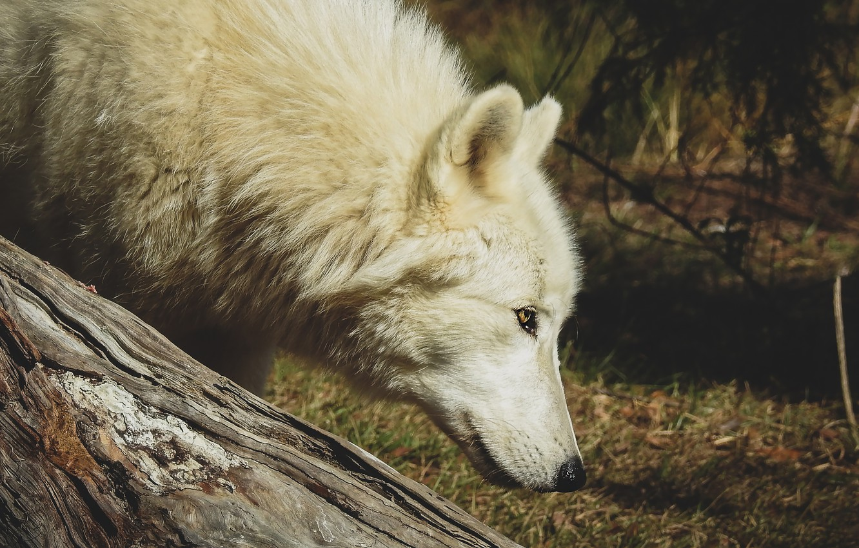 Photo wallpaper forest, white, grass, look, face, light, nature, pose, wolf, portrait, profile, log, polar