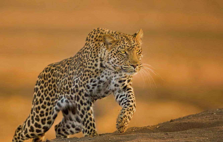 Photo wallpaper background, predator, leopard, wild cat