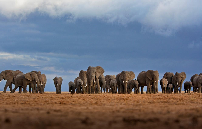 Photo wallpaper Africa, elephants, the herd, Kenya, Amboseli national Park