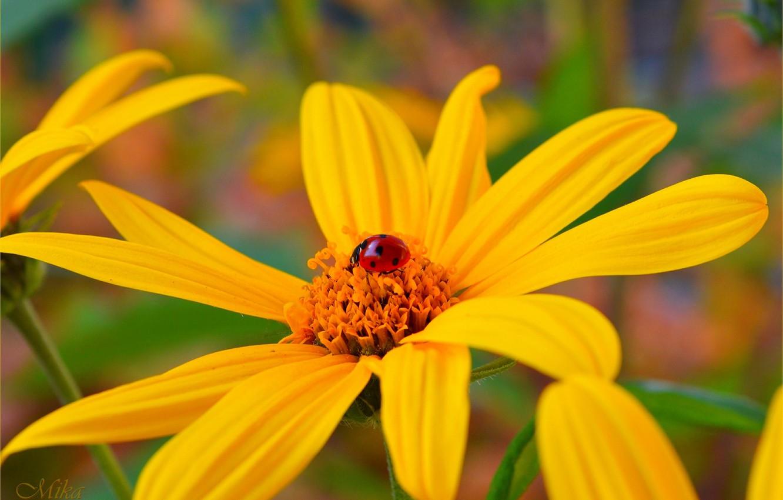 Photo wallpaper ladybug, Macro, Macro, Yellow flower, Yellow flower