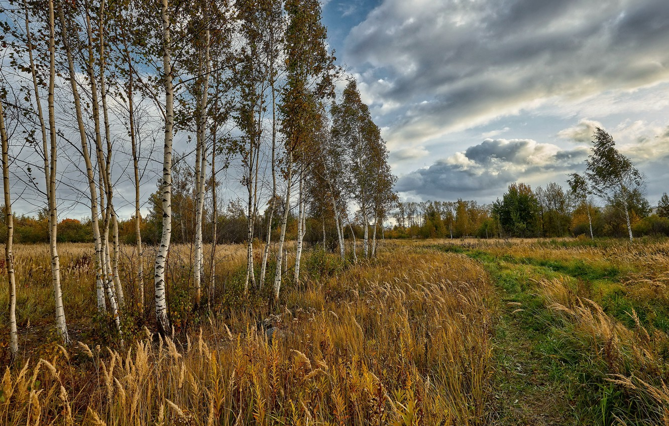 Photo wallpaper field, summer, birch
