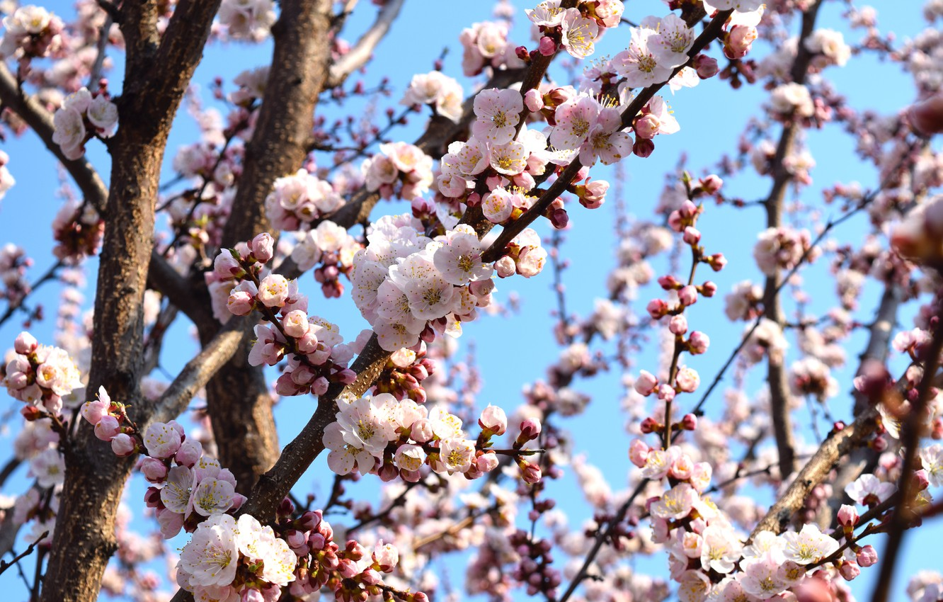 Photo wallpaper the sky, flowers, apricot, flowering tree