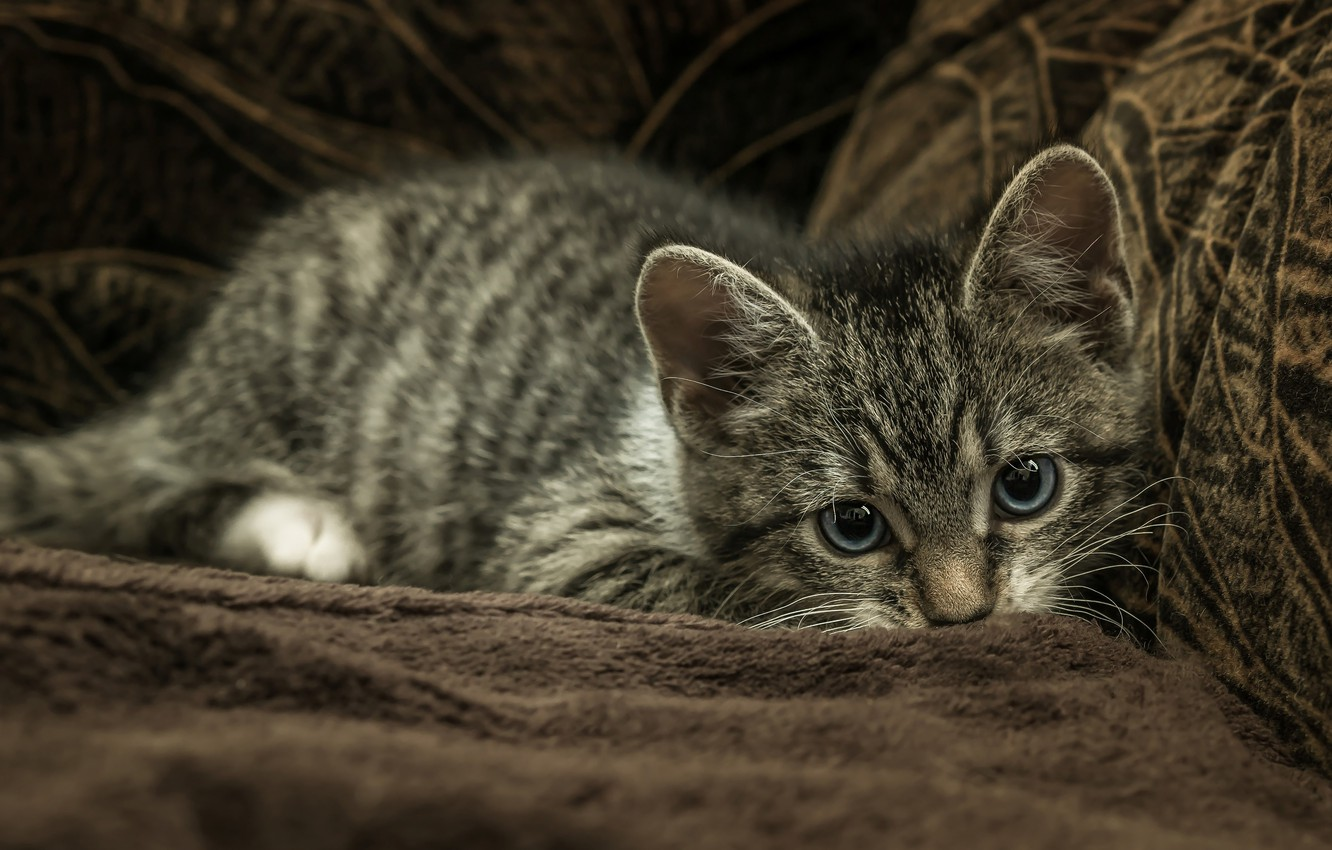 Photo wallpaper cat, look, pose, the dark background, kitty, grey, sofa, blanket, lies, fur, kitty, face, striped, …