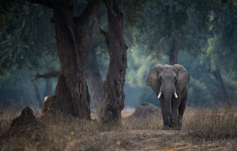 Photo wallpaper trees, elephant, Zimbabwe