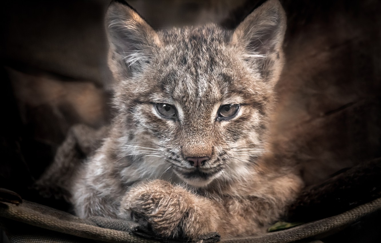 Photo wallpaper predator, baby, lynx