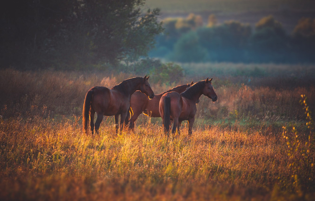 Photo wallpaper field, autumn, nature, horses, horse, pasture, pair, three, trio, three, Trinity, he has Bay, three ...
