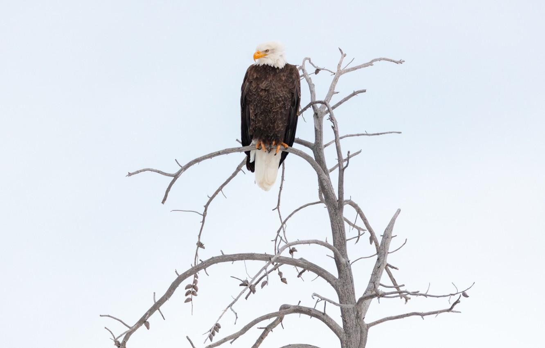 Photo wallpaper the sky, bird, branch, eagle