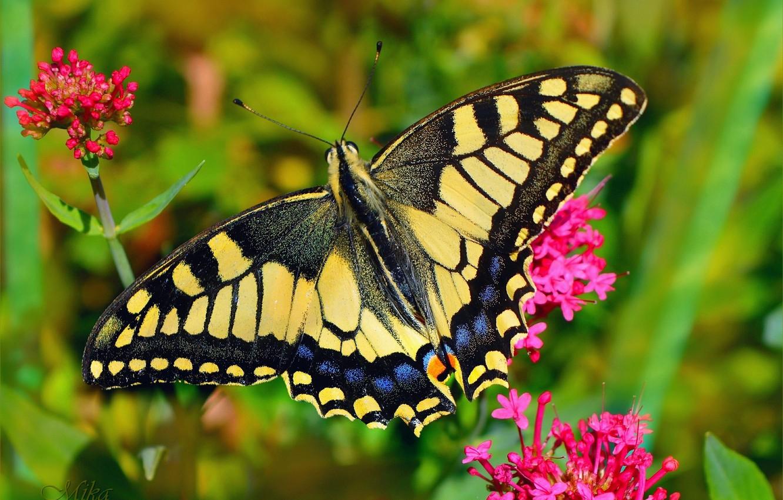 Photo wallpaper Macro, Butterfly, Macro, Butterfly