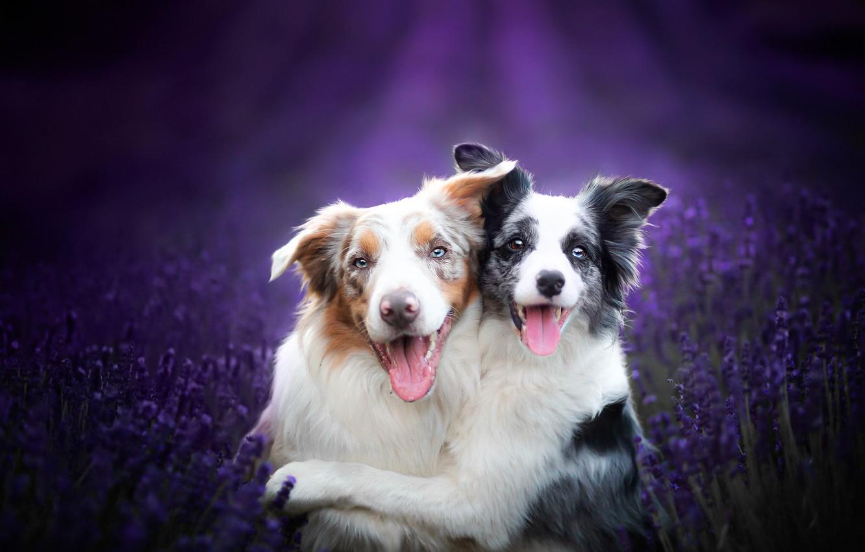 Photo wallpaper dogs, friends, lavender