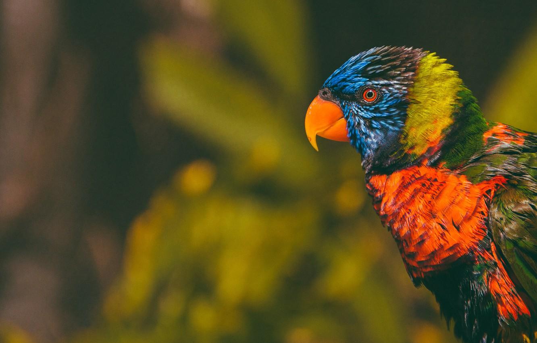 Photo wallpaper look, the dark background, bird, parrot, colorful, bokeh, Lori, bright plumage, rainbow lorikeet
