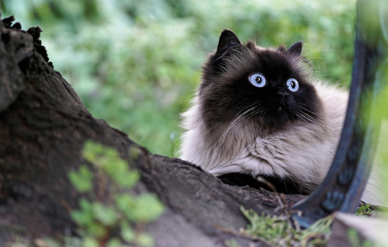 Photo wallpaper cat, eyes, cat, look, nature, tree, portrait, blue, muzzle, lies, fluffy, Siamese, huge eyes, color-point, ...