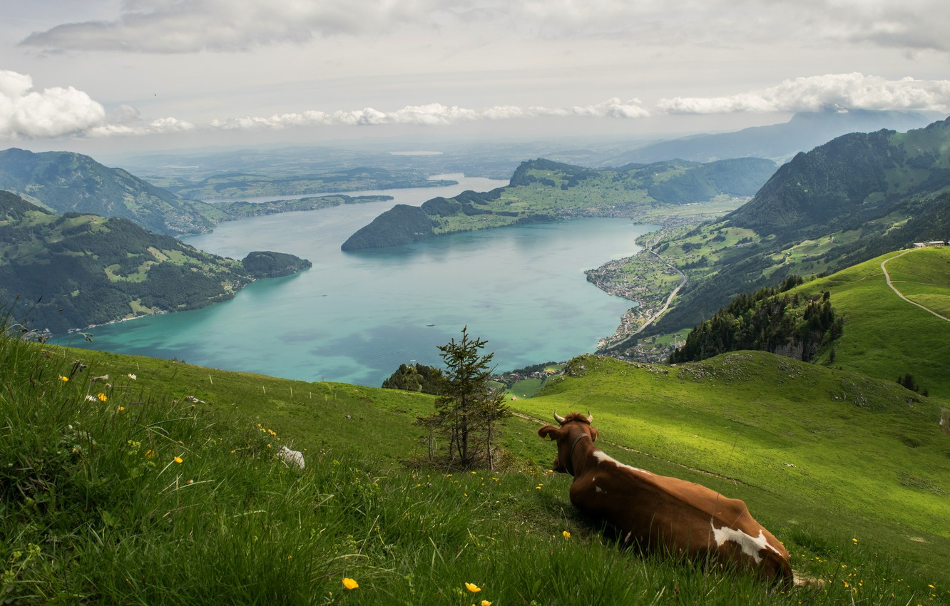 Photo wallpaper greens, summer, grass, clouds, mountains, pose, lake, hills, stay, back, height, cow, Switzerland, slope, Alps, …