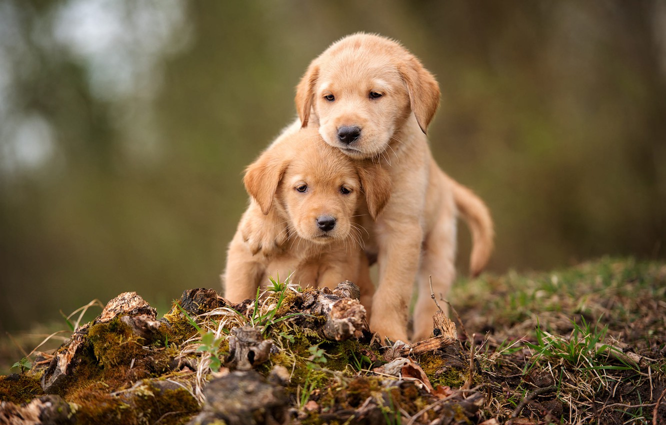 Photo wallpaper dogs, grass, look, nature, background, moss, legs, puppies, stump, pair, puppy, kids, a couple, sitting, …